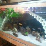 Awesome Cichlid Tank Decorations Fish