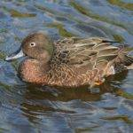 Brown Teal Wikipedia